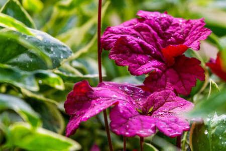 Heuchera after rain. Flowers in a garden Zdjęcie Seryjne