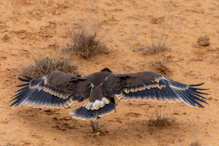 Close up of nestling or young Steppe eagle or Aquila on a ground. Zdjęcie Seryjne