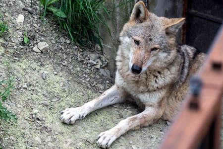 Portrait of gray wolf in the forest. Zdjęcie Seryjne