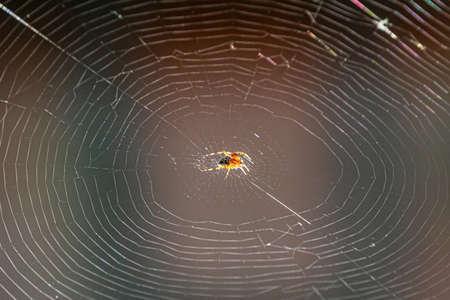 European Garden Spider or Cross Orb-Weaver Eating a Captured Fly.