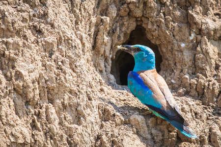 European roller or coracias garrulus feeding chicks in nest hole.