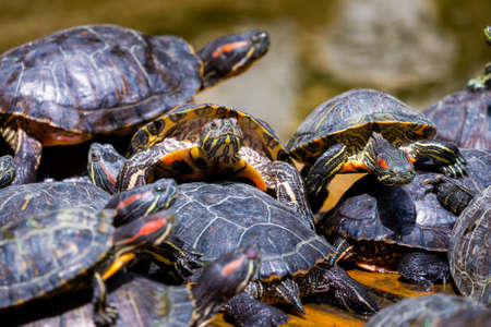Group of red-eared slider or Trachemys scripta elegans in pool. Dozens of yellow-bellied slider turtles sunning on a wooden surface. Stock Photo