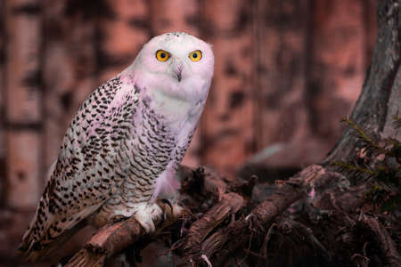 The snowy owl or Bubo scandiacus is a large, white bird of the true owl family. It is sometimes also referred to, more frequently, as the polar, white and the Arctic owl.