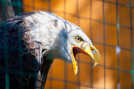 Close-up of Bald Eagle or American Eagle or Haliaeetus Leucocephalus. Family Accipitridae. 版權商用圖片
