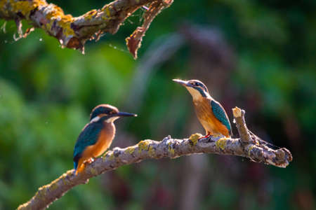 Common European Kingfisher or Alcedo atthis sits on a stick above the river and hunting for fish. This sparrow-sized bird has the typical short-tailed, large-headed kingfisher profile. 版權商用圖片