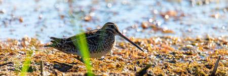 Snipe in swamp. Birds in wild nature and habitat.