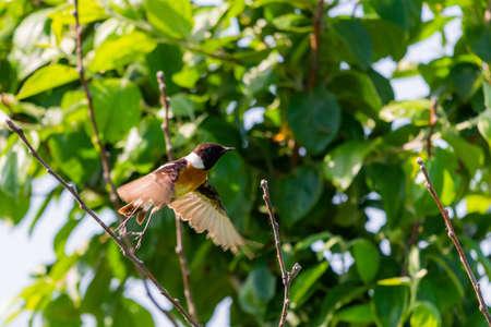 Stonechat, Saxicola rubicola, male bird on branch close-up. 版權商用圖片