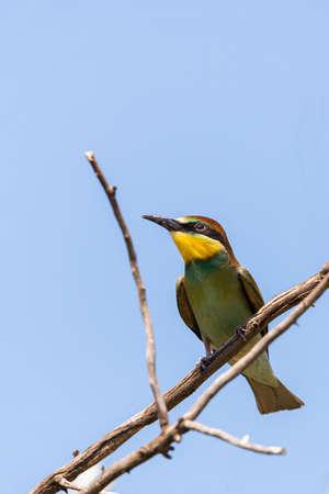European bee eater, Merops apiaster. Common bee-eater bird on branch. 版權商用圖片