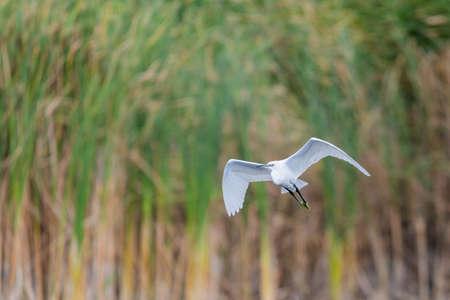 Ardea alba or White heron portrait in habitat