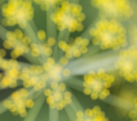 Blurry abstract green-yellow background from nature, blurred dill photo