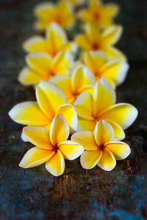 Yellow frangipani plumeria flowers on dark blue wooden table close-up with copyspace.