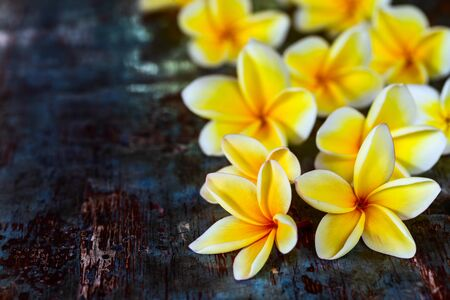 Yellow frangipani plumeria flowers on dark blue wooden rustic table close-up with copyspace. Exotic tropical background.
