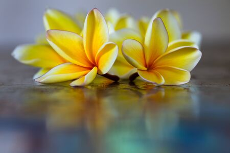Yellow frangipani plumeria flowers on blue table close-up with copyspace. Exotic tropical colorful background. Stock Photo
