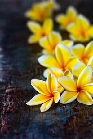 Yellow frangipani plumeria flowers on dark blue wooden rustic table close-up with copyspace.  Stock Photo