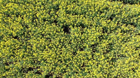 Aerial Top view of Yellow Canola Field. Harvest Blooms Yellow Flowers Canola Oilseed. Banque d'images