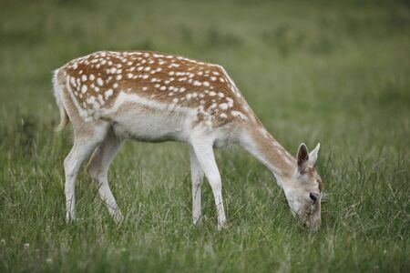 Female Fallow Deer grazing on the field Stock Photo