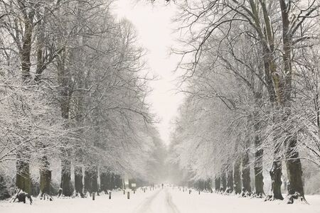 Rows of snow covered trees on a cold winter day. Stock Photo