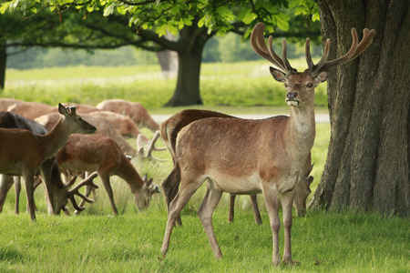 herd of deer: Red Deer stag and a herd of doe grazing Stock Photo