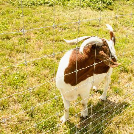 Wild cute beautiful goats are on the farm in summer 스톡 콘텐츠