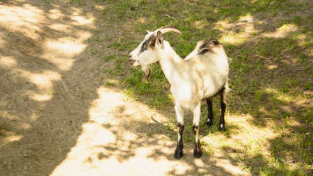 Wild goats are on the farm in summer