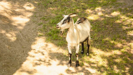 Wild goat on the farm in summer
