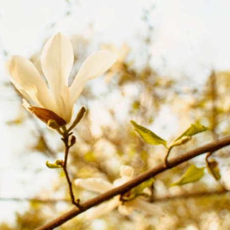 Beautiful white magnolia flowers in city park