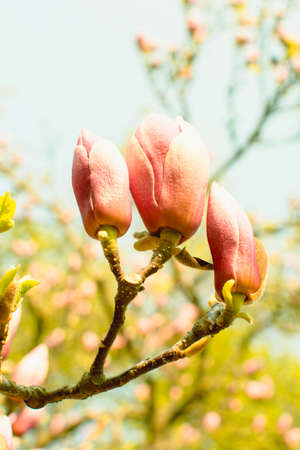 Beautiful pink magnolia flowers in city park