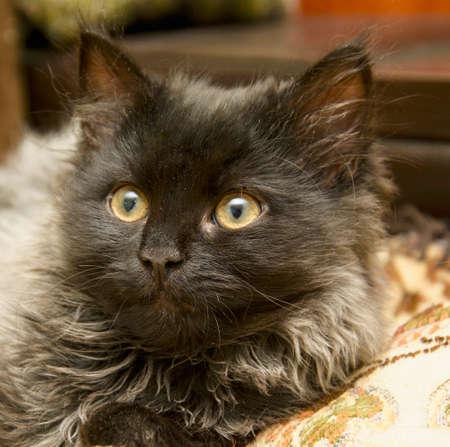 Beautiful little fluffy playful gray kitten Archivio Fotografico - 155509396