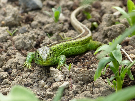 lacertidae: Sand Lizard, lacerta agilis, read in a flower bed in the garden
