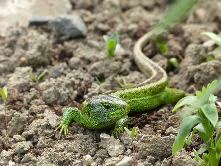 Sand Lizard, Lacerta Agilis, Read In A Flower Bed In The Garden ...