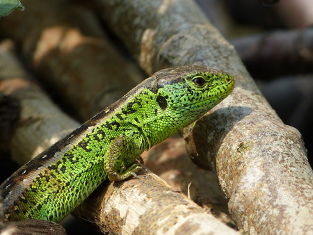 insidious: Sand Lizard, lacerta agilis, read in a flower bed in the garden