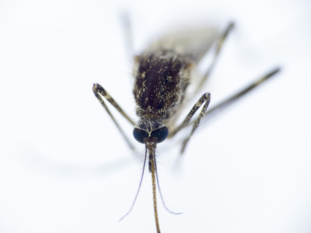 diptera: Mosquito in the macro format Diptera - Nematocera, Culicidae