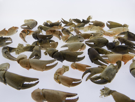 overfishing: Nippers of crabs, white background Stock Photo