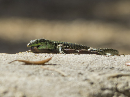 lacerta: Sand Lizard eats earthworms, Lacerta agilis, Lumbricidae