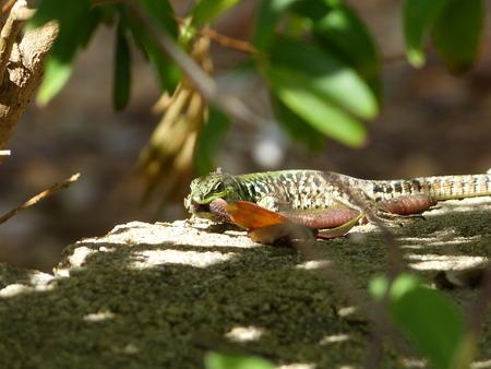 lacerta: Sand Lizard eats earthworms, Lacerta agilis, Lumbricidae