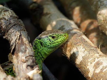 lacerta viridis: Reptile, Lacerta bilineata in the Sun - Vigilant lizard, sand lizard, Lacerta agilis Stock Photo