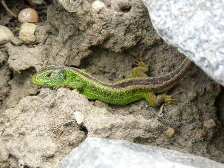 lizzard: Reptile, Lacerta bilineata in the Sun - Vigilant lizard, sand lizard, Lacerta agilis g