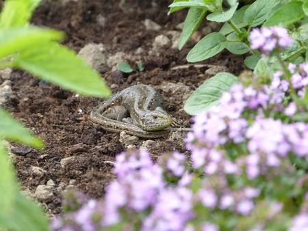 lizzard: Reptile, Lacerta bilineata in the Sun - Vigilant lizard, sand lizard, Lacerta agilis Stock Photo