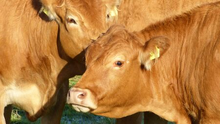 breeder: Cows - Limousin cattle, Bos taurus - Cattle breed from the Limousin region of France Stock Photo