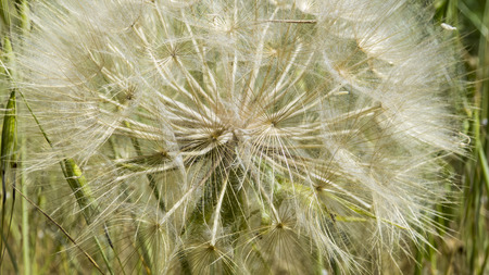 牧草地 - タンポポ派で blowball。ルデラリア 写真素材 - 51797203