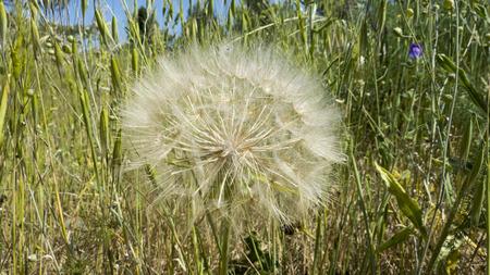 牧草地 - タンポポ派で blowball。ルデラリア 写真素材 - 51797204