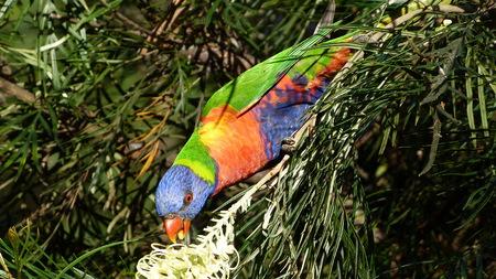 ゴシキセイガイインコ、国立、ゴシキセイガイインコ、鳥、ヨウムに限定される、Loriinae、Trichoglossus、Trichoglossus haematodus、ローリー