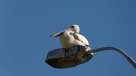 脊椎動物、鳥類、ペリカン目、Pelecanidae、ペリカン通りランプのペリカン