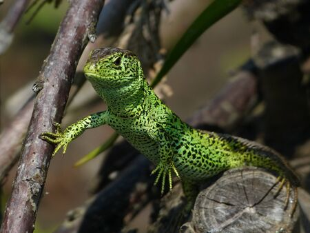 observed: Sand Lizard, Lacerta Agilis, Observed his environment Stock Photo