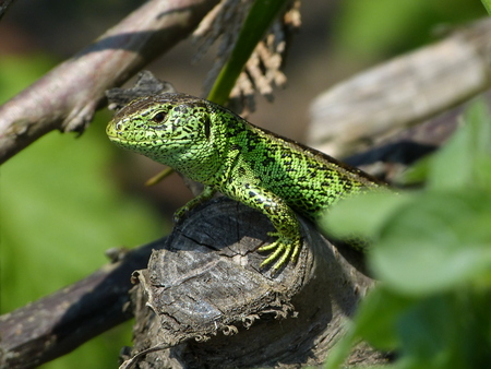 lacerta: Sand Lizard, Lacerta Agilis, Observed his environment Stock Photo