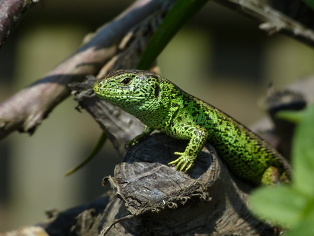 lacertidae: Sand Lizard, Lacerta Agilis, Observed his environment Stock Photo