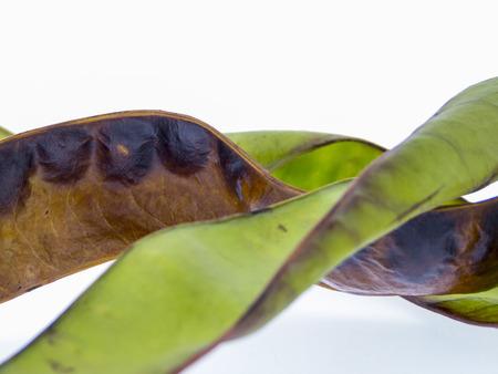 蜂蜜イナゴ - グレディットシア triacanthos の果実 写真素材 - 54905142