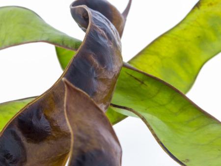 蜂蜜イナゴ - グレディットシア triacanthos の果実 写真素材 - 54905164