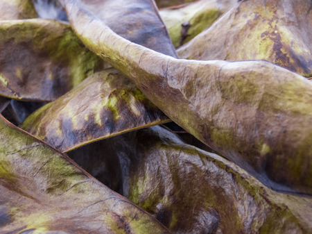 langosta: Frutos de la langosta de miel - triacanthos Gleditsia Foto de archivo