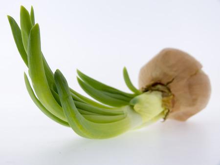 白い背景に、分離の発芽の玉ねぎ